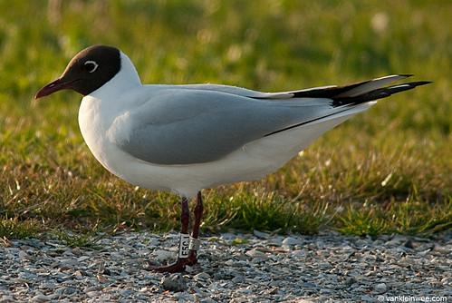 Black-headed Gull, adult, W[E5CJ]