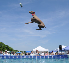 501 (The_Little_GSP) Tags: dogs dock bigair dockdogs pawsforacause dogjump pspca tidewaterdockdogs littlegspphotography