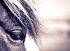 Horse Eye View (Wolsten) Tags: horses animals eyes closeups