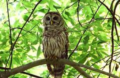 11lowbranch1 (caroltlw (on hiatus)) Tags: bird birds florida wildlife owl barred strix varia