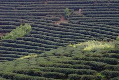 Oolong Plantation