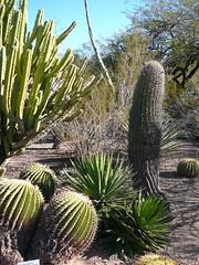 Barrel Cactuses (alist) Tags: phoenix garden botanical desert alicerobison