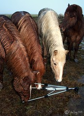 Curiosity killed the ..... (Fjola Dogg) Tags: horses wet rain animal caballo cheval iceland islandia tripod cavallo cavalo pferd kuda sland hest hevonen paard  hst ceffyl    l ko arklys icelandichorse perd zaldi  k konj hobune   capall zirgs  iemel k farasi nga  equum  fjoladogg