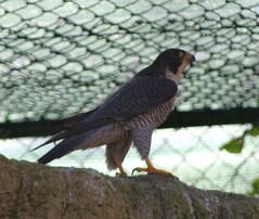 bird centre malta raptor falcon maltesefalcon falconry perigrine perigrinefalcon