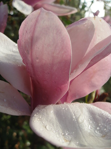 Morning dew on Japanese magnolia