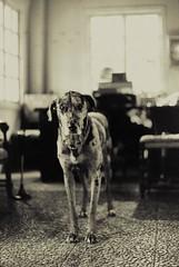 Animalia tantum (Emmanuele Contini) Tags: dog cane thelittledoglaughed artlibres contnibb animaliatantum albuonjack