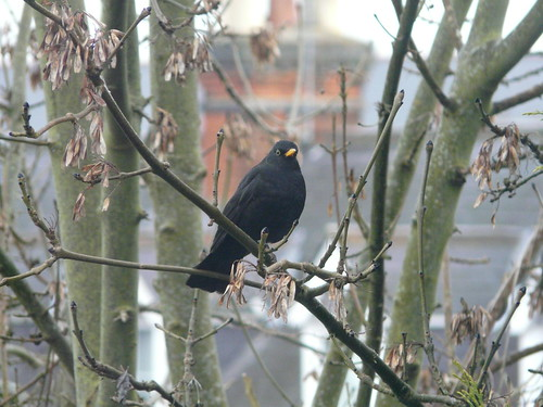 Blackbird during my garden birdwatch