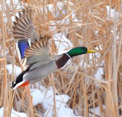Mallard Drake!! (JRIDLEY1) Tags: winter snow green flying duck cattails mallardduck naturesfinest blueribbonwinn