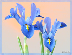 Twee irissen uit een potje (okkibox) Tags: iris flower fleur blume blueiris 2009 fujifinepix bloem artistimpression awesomeblossoms okkibox