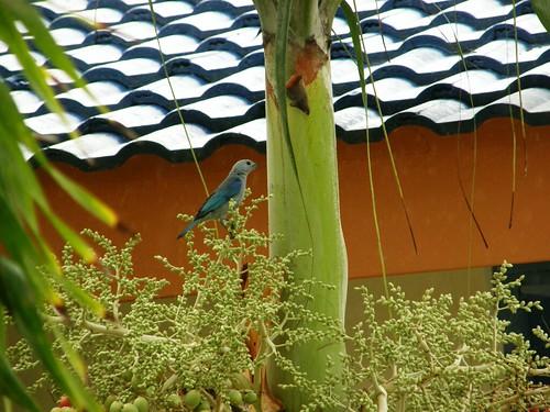 Pájaro azul 1