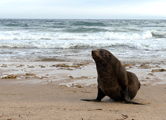 sea beach fur sand wildlife australia melbourne seal