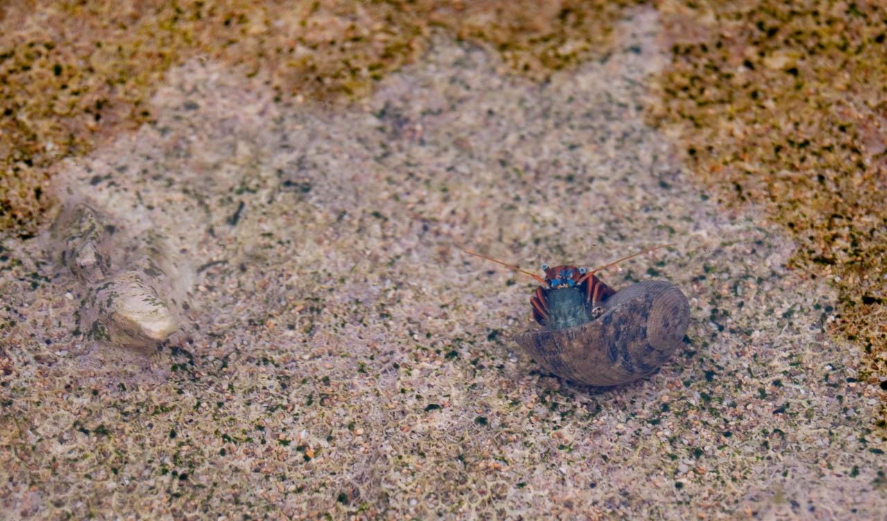 探出頭的寄居蟹
