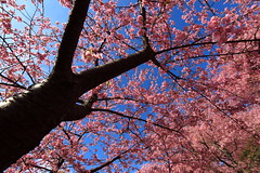 [フリー画像] [自然風景] [樹木の風景] [桜/サクラ] [花/フラワー] [ピンク/花]      [フリー素材]