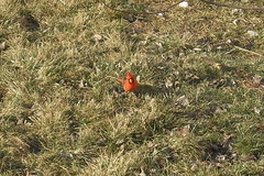 Beautiful male Northern Cardinal (jesusfreakfan77) Tags: red bird cardinal flame northern flaming