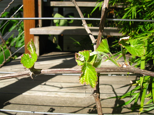 leafing out; Vitis californica