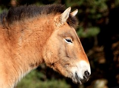 Portrait Of A ???? :-) (5th April amendment) Apparently it is a Przewalski's Horse!!! :-) (alphazeta) Tags: portrait horse brown black animal hair scotland ears mane przewalskishorse highlandwildlifepark digitalcameraclub goldsealofquality goldstaraward empyreanfauna