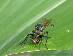 robberfly (José Bernardo) Tags: macro nature fly ecuador predator mosca robber depredador ladrona asiliidae macrolife
