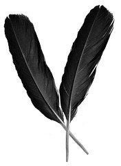 two raven feathers (wplynn) Tags: two black bird alaska flying twins pin object wing feather twin icon blessing nativeamerican sacred mystical messenger raven corvid quill indigenous archetype corvids