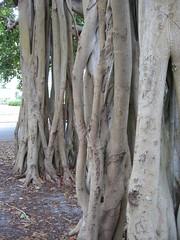 Banyan Tree (margbullock) Tags: florida banyantree