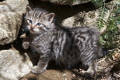 Wildkatze (cbeier_old) Tags: baby bayern deutschland natur jaeger katze wald tier bayerischerwald felissilvestris jungtier junges katzenbaby wildkatze saeugetier raubtier kaetzchen wildtier waldbewohner maeusejaeger