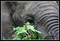 Olhar (Roseli Ronchesi) Tags: elephant nature mammal natureza safari krugerpark elefante savanna mamfero manada frica savana paquiderme