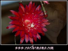 cactusmama (cactusmama) Tags: cacti zoe padre cadet epiphyllum nelsonii rubysnowflakes bestvonallen dysophyllum