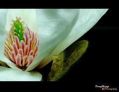 Star Magnolia (Light of Shade Photography) Tags: chicago flower macro sony magnolia pinoy starmagnolia stellata a350 pinoychicago