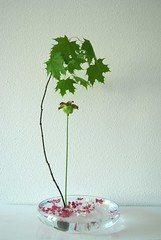 Ikebana 'Parasol' (Otomodachi) Tags: flowers glass pond blossom ikebana floating bowl container bloesem glas bloemen flowerarrangement vijver drijven japaneseflowerarrangement vleesetendeplant flesheatingplant bloemschikking drijvend schikking