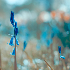 they think it's all over (harold.lloyd) Tags: blue bluebells bokeh bluebell 50mmf14 hmb veryblue mondayblues notover mmmyay happymondyay bluebellweek