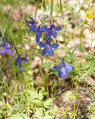 Larkspur (Madrone Soda Springs (historical), California, United States) Photo