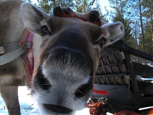 Real reindeer face galleryhip com the hippest galleries