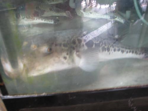 Fugu the pufferfish