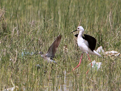 Black-winged Stilt and a Wood Sandpiper (?) /      (Mehdi Kavousian) Tags: bird iran landing  birdwatching  himantopushimantopus blackwingedstilt woodsandpiper tringaglareola azarbayjan  naghadeh  westazarbayjan    azarbayjanghabi naghade