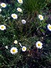 Daisies (Shani's Stuff) Tags: rome rural georgia iphone floydcounty fromthebike iphonepics
