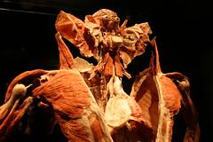 Body Worlds - Splayed Human Torso (Patty Mooney) Tags: california sandiego anatomy macabre southerncalifornia balboapark humanbody plastination gunthervonhagens humananatomy sandiegonaturalhistorymuseum bodyworldsexhibit crystalpyramidproductions germandoctor anatomicalexhibit