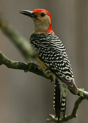 Red-bellied Woodpecker (AllHarts) Tags: nature bbw exposition redbelliedwoodpecker wildernesstrails aclass naturesfinest arealbeauty wingedwonders nationalgeographicbyitalianpeople birdsphotos shutterbox awesomebirds wildlifecontest crazyaboutnature photossansfrontires birdsinsideandoutside qualitycounts gemsofnature enarmonaconlanaturaleza alittlebeauty naturespotofgold~~competitivegroup pogchallengewinnershalloffame distinguishedbirds pog~~den10galleryallotherbirds animalsartgallery naturesbeautifulphotography thelittlephotoshoppe naturesprime thewonderfulworldofnature postthebest pickyourart pog~~den09gallerybirds natureandgeneralanimalphotography naturallywonderful rainbowelite birdsbirdsbirdsbirdsyougetthepoint birdsbirdsbirdsbirdslevel2