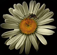 437 Fly and Flower (Nebojsa Mladjenovic) Tags: flowers light orange white plant black france flower macro art nature fleur closeup digital bug insect outdoors lumix fly spring flora noir burgundy panasonic bourgogne priroda blanc morvan onblack noire fz50 prolece yonne svetlost cvet cvece aplusphoto platinumheartaward mladjenovic expressyourselfaward mygearandmepremium mygearandmebronze mygearandmesilver mygearandmegold mygearandmeplatinum mygearandmediamond