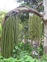 caryota urens - fishtail palm (syzygy_in) Tags: tree unusual breathtaking extraordinary unedited arboreal fishtailpalm caryotaurens palmaceae breathtakinggoldaward maleandfemalefruits identifiedtree