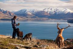 Deer Park (iandhd) Tags: newzealand lake mountains delete10 delete9 delete5 delete2 stag feeding delete6 delete7 save3 goat delete8 delete3 delete delete4 save save2 save4 queenstown oops deerparkheights friendlychallenges delete9someonemissedit