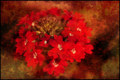 Red Flowers. (Pat Dalton...) Tags: red flower texture canon garden sigma ours blueribbonwinner 1770mm ghostworks 450d abigfave skeletalmess absoluterouge expressyourselfaward pdeee454 closeupbutnotquite
