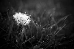 Born to Blow Away (seanmcgrath) Tags: flowers blackandwhite bw plants plant flower slr monochrome grass closeup blackwhite spring nikon bokeh fluffy sigma style gear naturallight places things noflash nb dandelion seeds newbrunswick kv 1850 naturallighting monochome d90 1850mm presets sigma1850mmf28 nbphoto quispamsis sigma1850mmf28macro nikond90 lightroompresets freepresets developpresets thebestlgihting