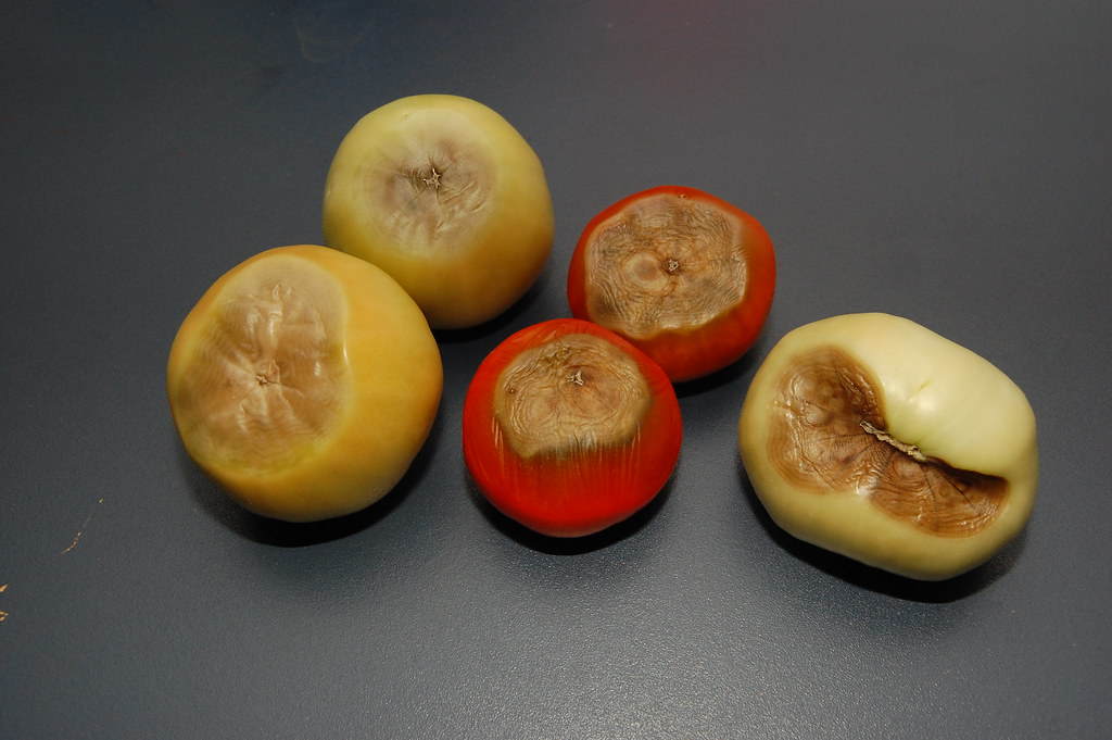 blossom end rot on tomatoes, unknown variety
