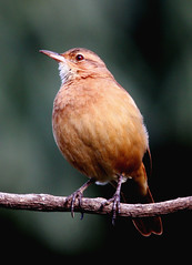 Joo-de-barro, Rufous hornero (Furnarius rufus) (claudio.marcio2) Tags: fab bird nature wildlife natureza pssaro aves chapeau inspire birdwatching breathtaking oiseaux birdwatcher wonderfulnature blueribbonwinner thegoldengallery fineartphotos beautifulcapture natureplus mywinners worldbest nationalgeographicareyougoodenough photosandcalendar farandawaythebest citritgroup freenature photostosmileabout eperkeaward concordians theworldsbestnaturewildlifeandmacrophotography betterthangood everydayissunday theperfectphotographer dragongoldaward birdsinsideandoutside allthosebirds screamofthephotographer worldnaturewildlifecloseup naturespotofgoldgroup thewonderfulworldofbirds naturegreenstar naturescreations dragonflyawardsgroup discoveryaward