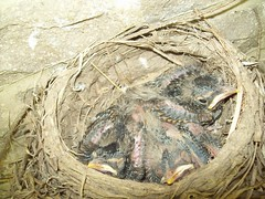 Baby Birds (June 22 2009) (JRBooth) Tags: nature birds nest wildlife robins hatchlings babybirds