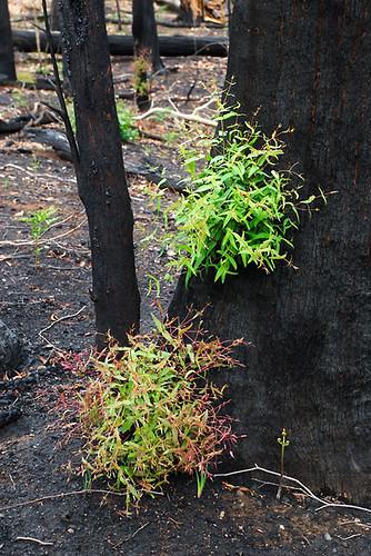 Beechworth bushfire, Victoria, Australia IMG_4904_Beechworth_Fire_2009