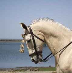 Cabeza Caballo III (vanbreack) Tags: horse animal caballo romeria galope ltytrx5 ltytr2 ltytr1 a3b cruzadasgold