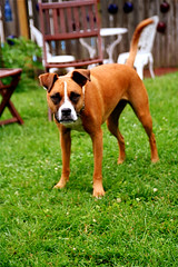Fawn Boxer -- IMG_7646