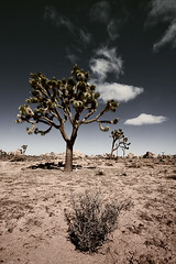 joshua tree 1323 (s.alt) Tags: california tree nationalpark desert joshuatree mojave