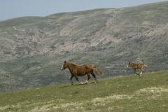 Sentiero Visso-Macereto: cavalli al galoppo (Gaspa) Tags: visso macereto