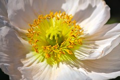 Poppy (mclcbooks) Tags: nature niceshot musictomyeyes aphoto potofgold naturegroup floralia denverbotanicgardens macroworld inthemood hiddentreasure beautifulshot beautifulcapture natureplus naturesgallery flickrphotocontest perfectpetals mywinners royalgroup flickrhearts nationalgeographicareyougoodenough flickrawards flickrbronzeaward magicalnature heartawards ultimategold flickrsun goldstaraward naturestyle macroflowerlovers brilliantphotography crazyaboutnature worldofflowers peaceawards thebestshot macrolovers mimamorflowers defendersnaturemacroandcloseup screamofthephotographer naturespotofgold flickrsawesomeblossoms allkindsofmacroscloseups oohlalapictures artofimages amazingdetails flowersexcellentcloseups unforgettableflowers flickawards platinumpeaceaward universeofnature addictedtoflower lovetheworldofnature flowermacrowaterdrops naturesprime beautifulfloras mygearandmepremium diamondnatureandstyle mygearandme1 mygearandme2 mygearandme3bronze weloveallflowers goldenplanetevo natureskingdom silveramazingdetails fabulousplanetevo thenaturessoul betterthangoodlevel1 butterfliesandflowersphotos exquisitelygorgeousflowers sackofphotosmothernature flowersorinsectsmacrosonly cherishyourdreamsandvisions bestpeoplesgroup artistspotlightcontestwinners flickrstarsflickrestrellasgroup